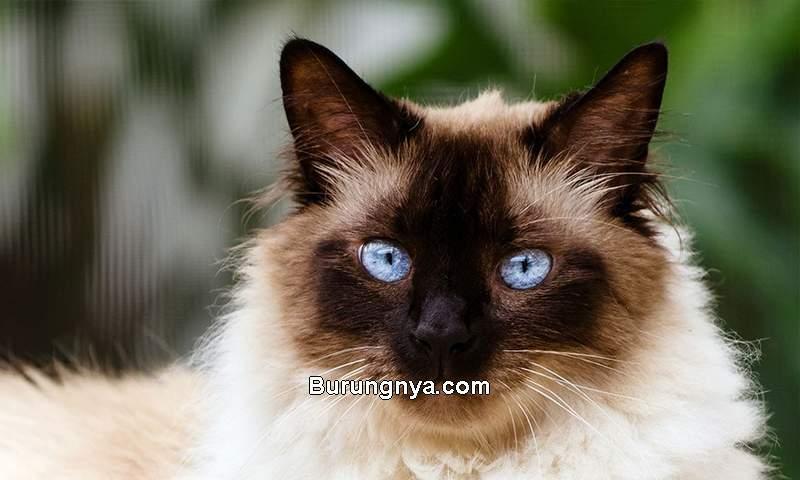 Harga Kucing Himalaya (spacecoastpetservices.com)