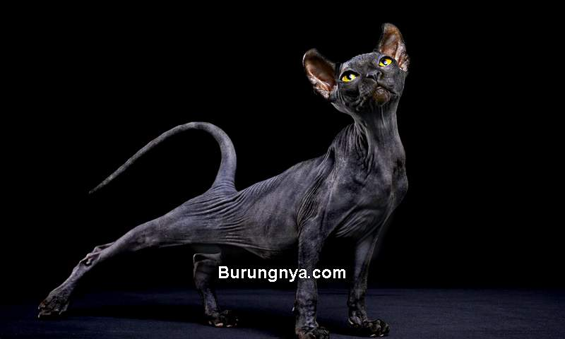 Harga Kucing Sphynx (theoutline.com)
