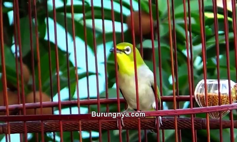 Jenis Burung Kecil Suara Merdu dan Gacor Yaitu Pleci (youtube.com)