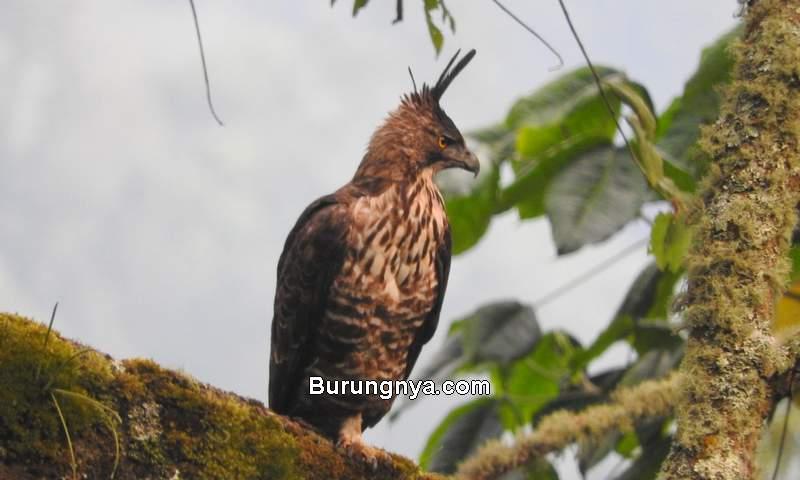Jenis Elang Indonesia (ebird.org)