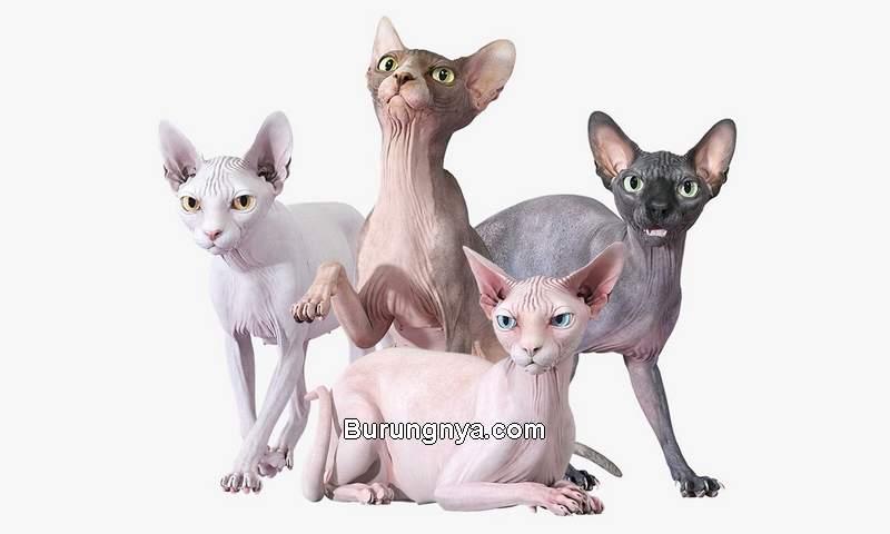 Jenis Kucing Sphynx, sejarah, cara merawat, dan harga 2021 (cgtrader.com)