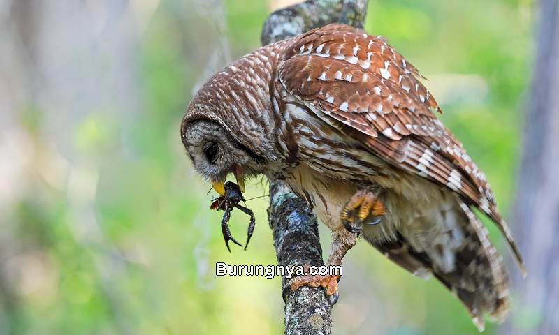 Makanan Burung Hantu Anakan dan Dewasa (chesapeakebay.net)
