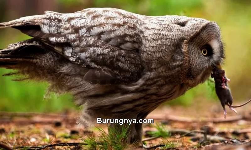 Makanan Burung Hantu Tikus (birdwatchinghq.com)