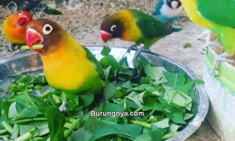 Makanan Burung Lovebird Selain Milet (kacer.co.id)