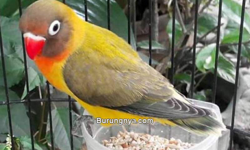 Makanan Burung Lovebird (arenahewan.com)