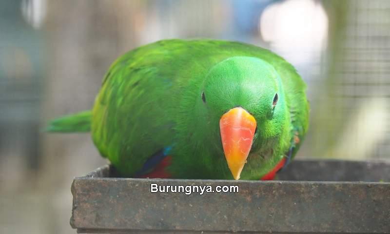 Makanan Burung Nuri (zoochat.com)