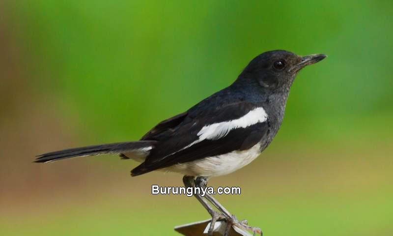 Masteran Burung Kacer Gacor (worldbirdsblog.blogspot.com)