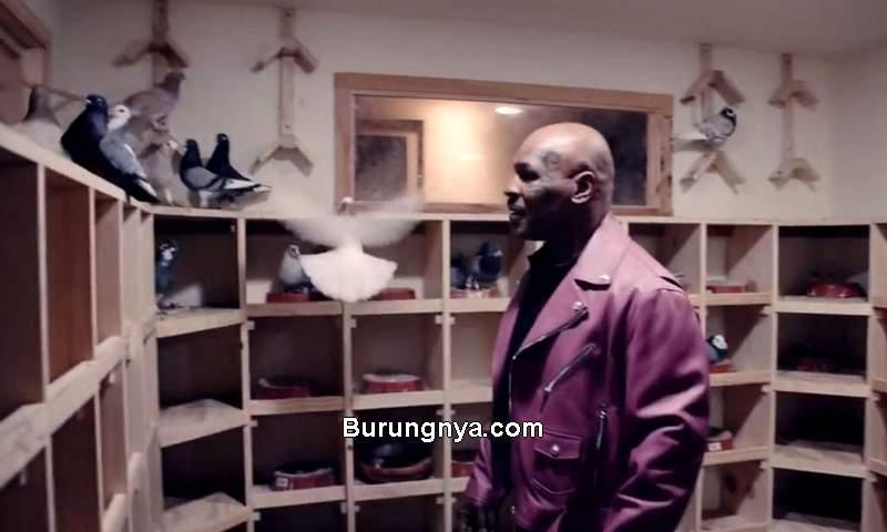 Mike Tyson Beli Kandang Merpati Termahal (thescore.com)
