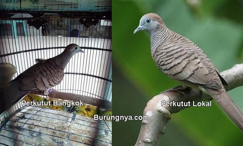 Perbedaan Perkutut Bangkok dan Lokal (Burungnya.com)