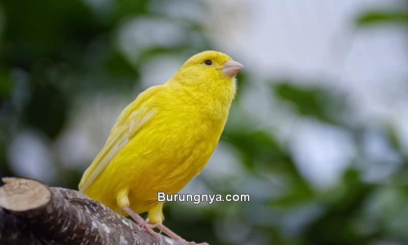 Suara Burung Paling Merdu (hdqwalls.com)