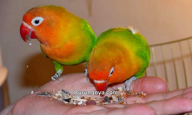 Tanya Jawab makanan burung Lovebird dan perawatan (petpintar.com)