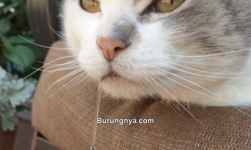 Air Liur Kucing Keluar Terus dan Bau (longviewpetsitting.com)