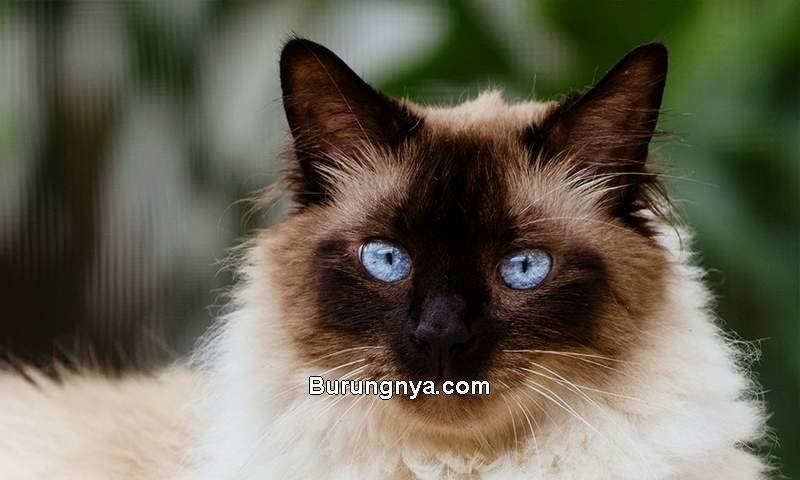 Asal Usul Kucing Himalaya (spacecoastpetsevices.com)