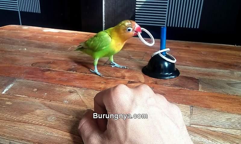 Cara Alternatif Mengatasi Burung yang Susah Jinak (youtube.com)