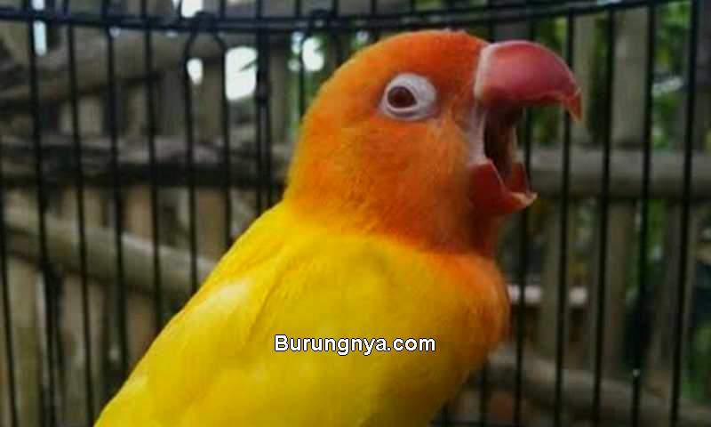 Cara Membuat Lovebird Ngekek Mangap (burungnya.com)