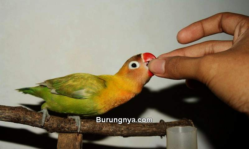 Cara Memilih Vitamin Burung Kicau yang Bagus (burungnya.com)