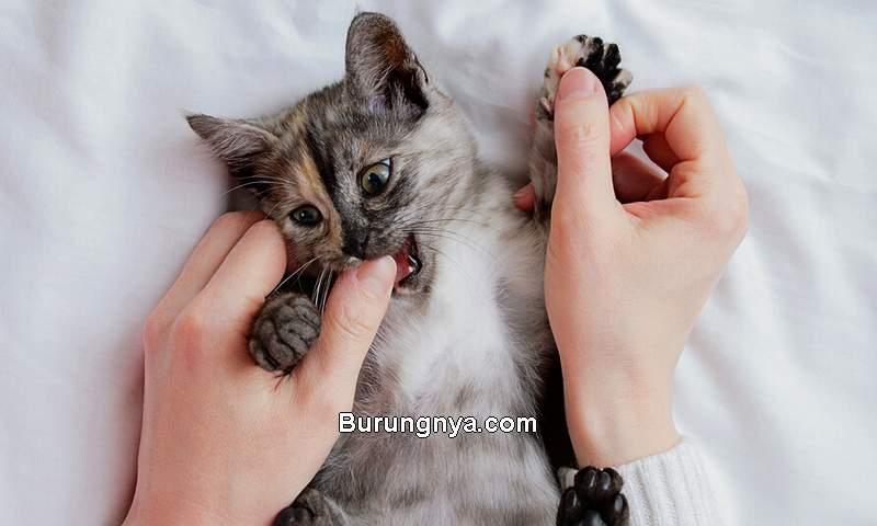 Cara Mengatasi Kucing Gigit Tangan dan Kaki (purina.co.uk)
