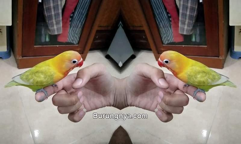 Cara Menjinakkan Burung dengan Terapi Lapar (bukalapak.com)