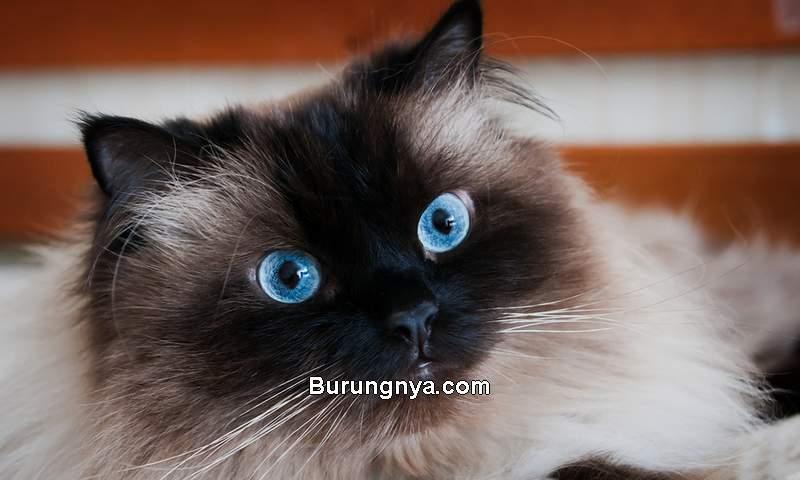 Kucing Himalaya (catfoodinsider.com)