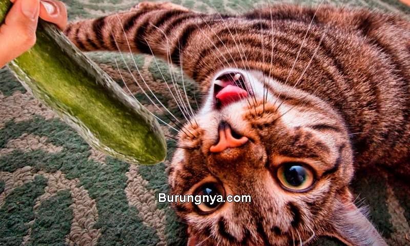 Kucing Takut dengan Timun (youtube.com)