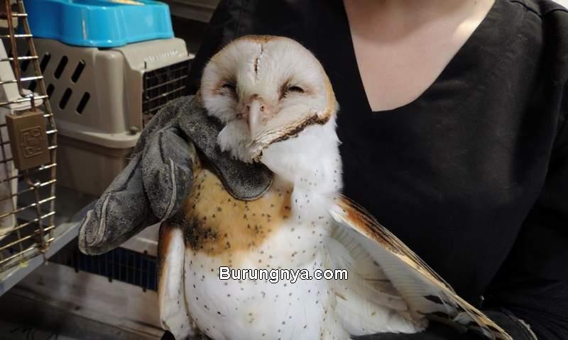 Makanan Burung Hantu Semua Jenis (wildlifecenter.org)