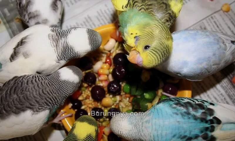 Makanan Burung Parkit (puppiesareprozac.com)