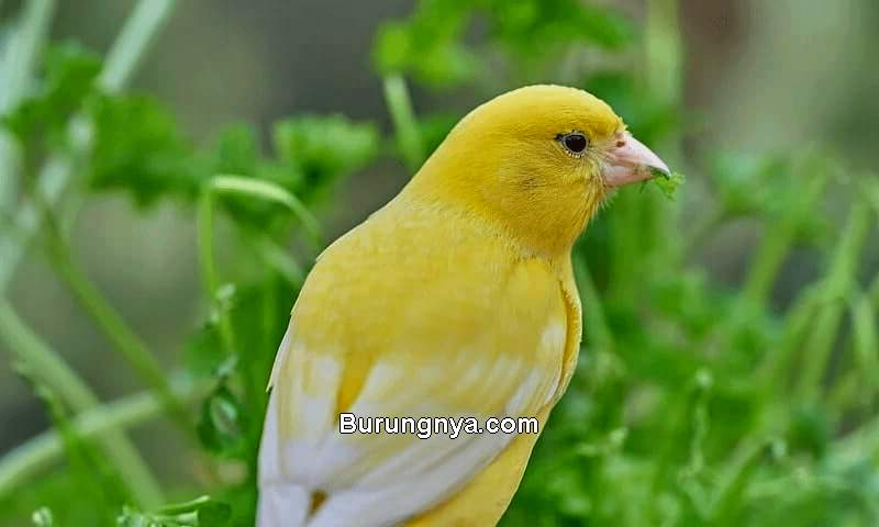 Pakan Burung Kenari dari Daun Dewa (genemil.com)
