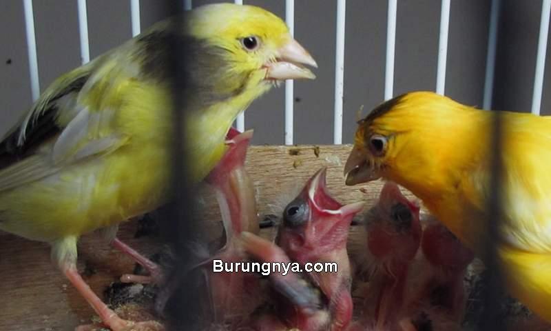 Pakan Burung Kenari untuk Ternak (petbirds.eu)