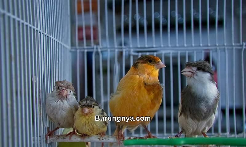 Pakan Ternak Burung Kenari (wallpaperbetter.com)
