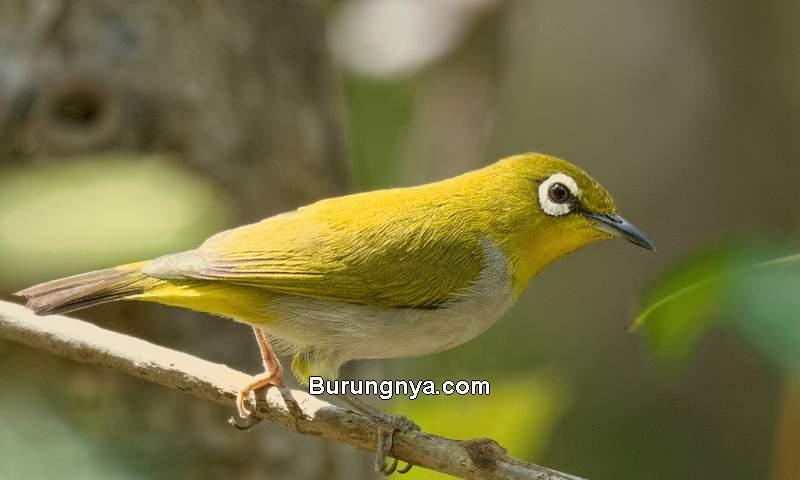 Perbedaan Pleci Montanus, Auriventer, dan Buxtoni (birdguides.com)
