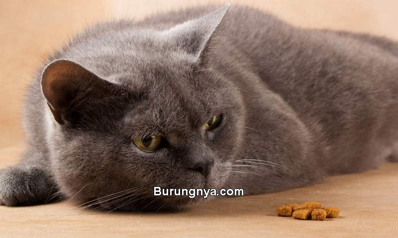 Solusi Kucing Tidak Mau Makan (unionlakeveterinaryhospital.com)