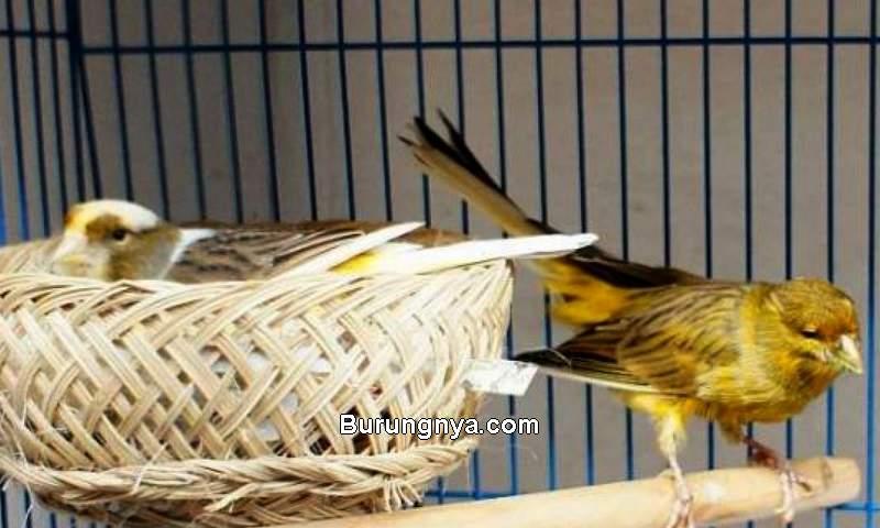 Usaha Bisnis Ternak Burung Kenari (arenahewan.com)