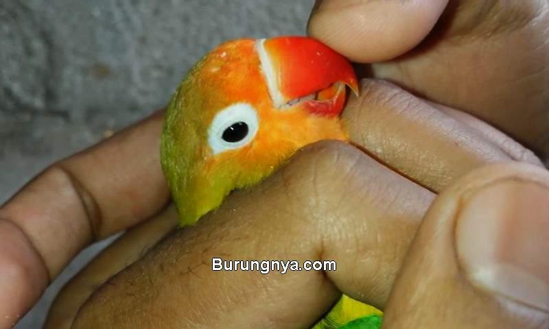 Vitamin Burung Kicau yang Bagus (burungnya.com)