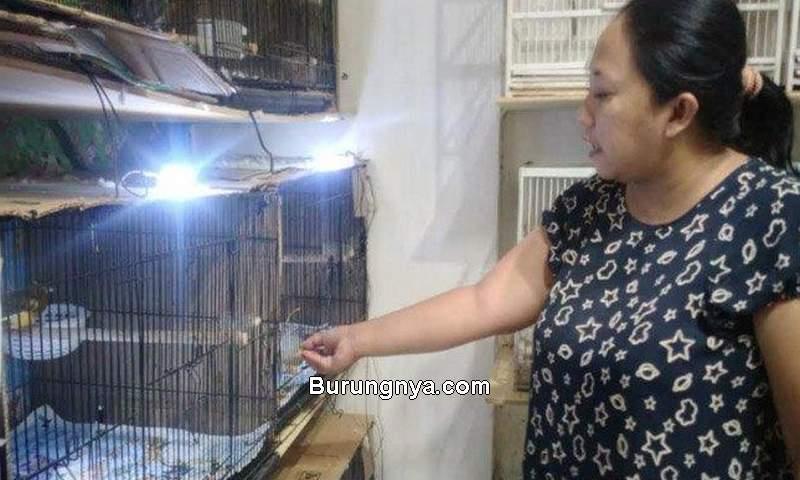 Wanita Ternak Burung Kenari (tribunnews.com)