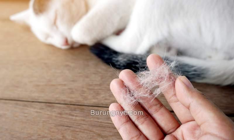 Cara Mengatasi Bulu Kucing Rontok (petscarefamily.com)