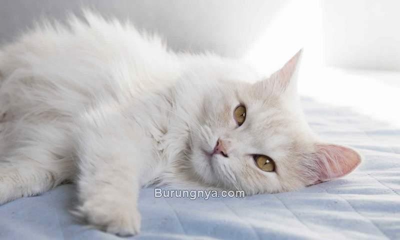 Cara Merawat Kucing Anggora Paling Mudah (mrbosscat.com)