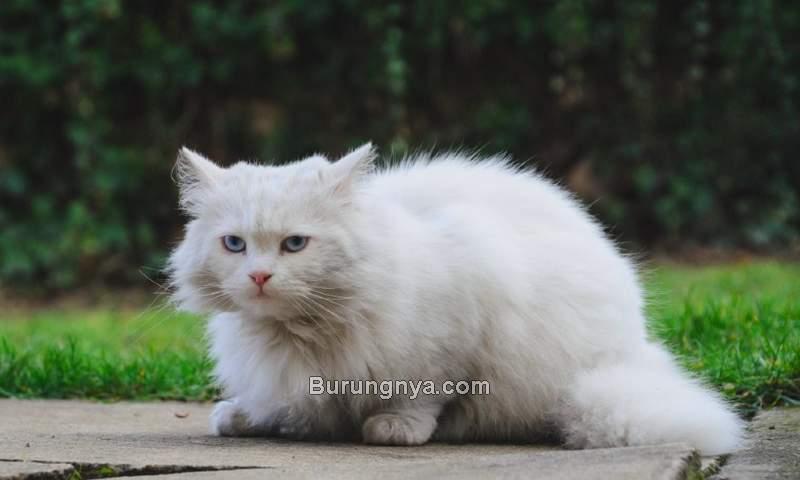 Cara Merawat Kucing Anggora (excitedcats.com)