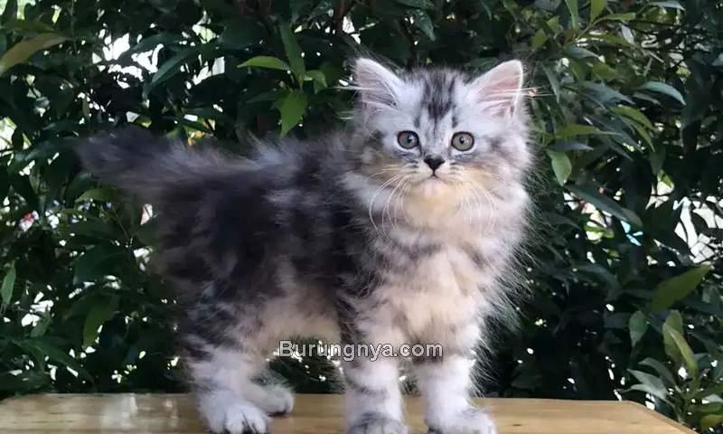 Ciri Kucing Persia Medium dan Harga Terbaru (olx.co.id)