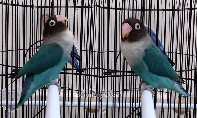 Ciri Lovebird Ngekek Panjang dan Prospek Lomba (olx.co.id)