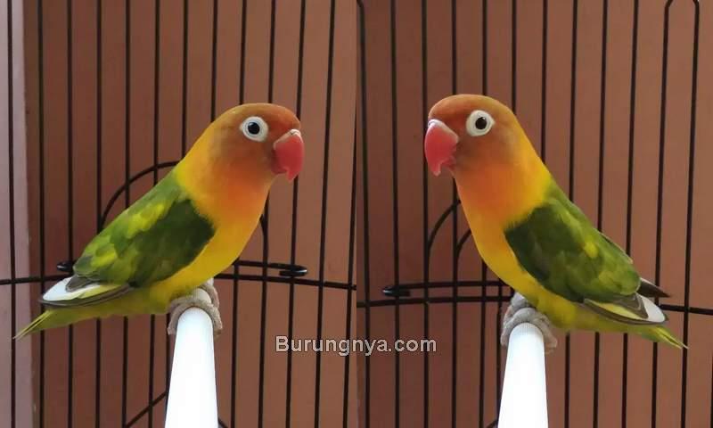 Ciri Lovebird Ngekek dan Rajin Bunyi (olx.co.id)