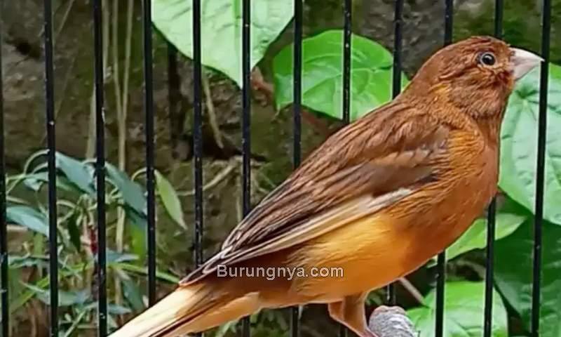Harga Burung Kenari Terbaru (olx.co.id)