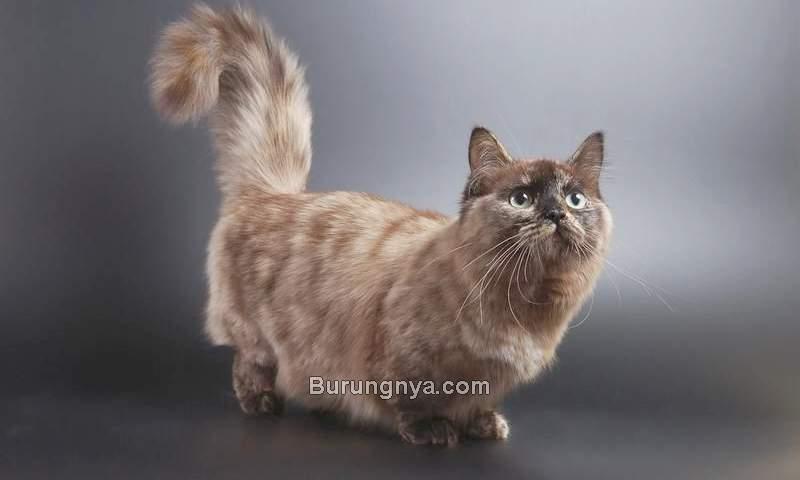 Harga Kucing Munchkin (pinterest.com)