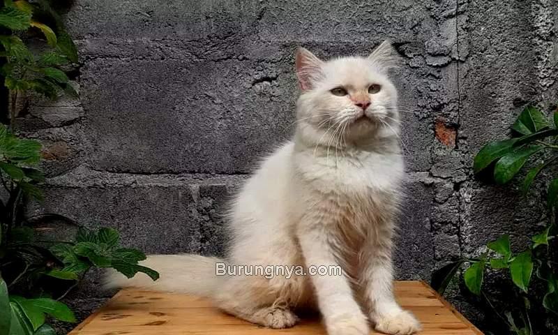 Harga Kucing Persia Medium terbaru 2021 (olx.co.id)
