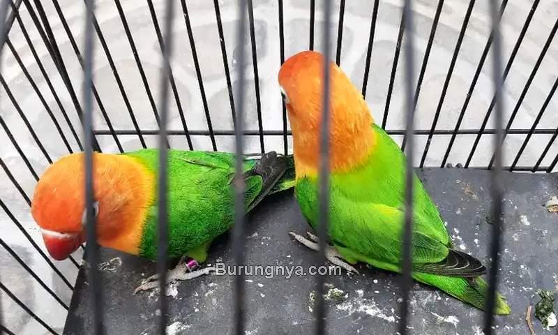 Harga Lovebird Biola 2021 (olx.co.id)