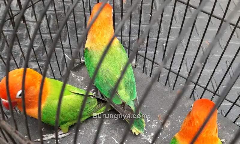 Harga Lovebird Biola Tahun 2021 (olx.co.id)