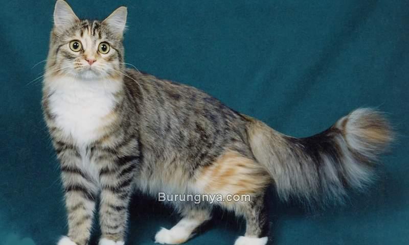 Kucing Anggora Mix Kucing Kampung (kucing5383.wordpress.com)