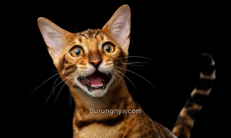 Kucing Berisik Mengeong Keras (moderncat.com)