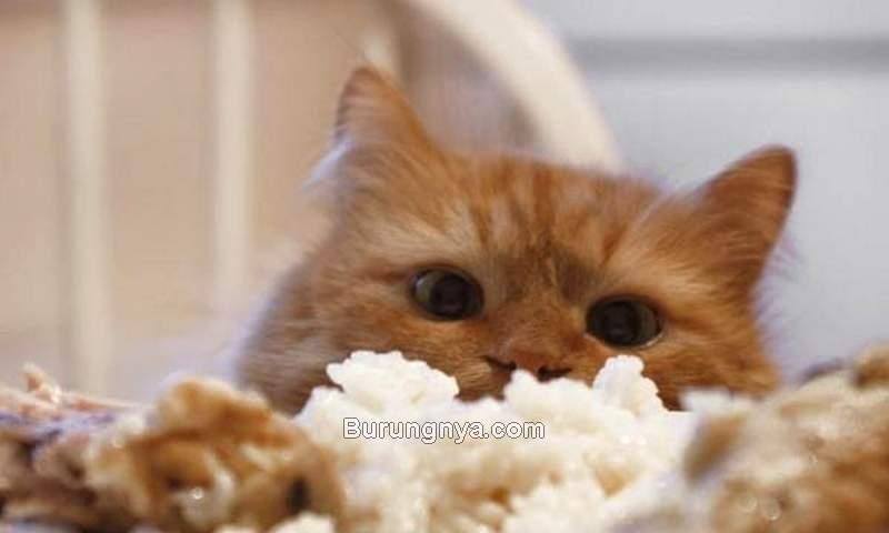 Kucing Makan Nasi Bahaya atau Tidak (animalwised.com)