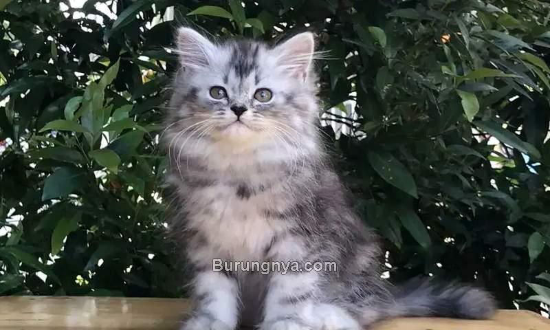 Kucing Persia Medium dan Harga 2021 (olx.co.id)