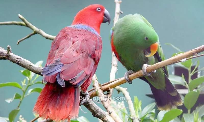 Makanan Burung Nuri yang Bagus (alaboutbirds.info)